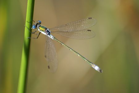 Little black and blue dragonfly with green background Stock Photo - 3106433
