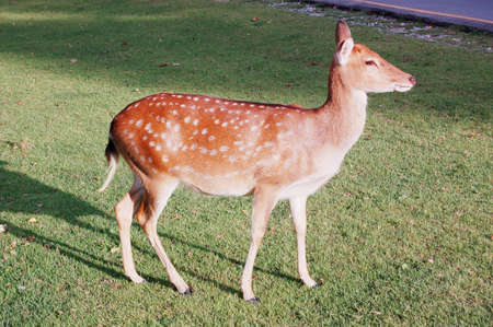 A female axis deer stands on the yard and sunshine