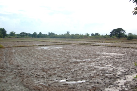 Land of agricultural business for rice farming
