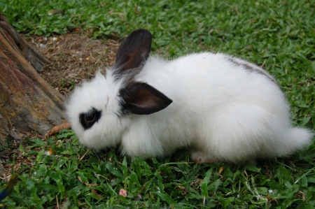 The black-white Rabbit in the yard.