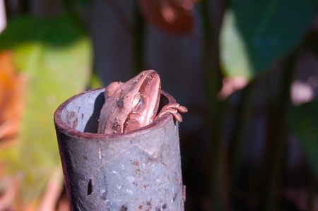 Frog in the iron pipe