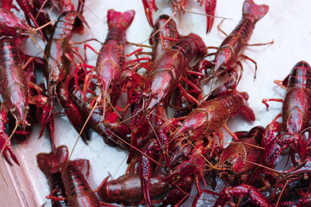 aquatic products: Lobster