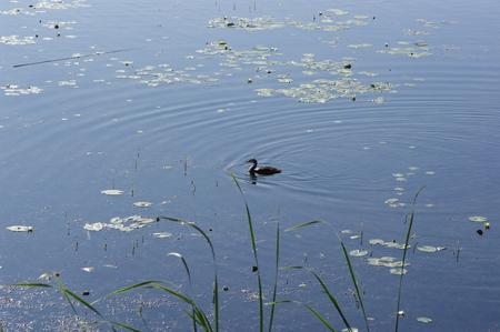 water birds: Water birds