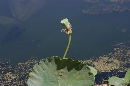 lotus seed: Lotus seed Stock Photo