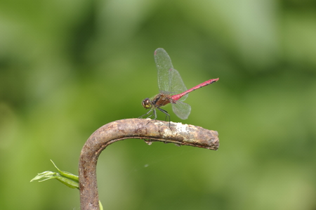 beneficial insect: Dragonfly