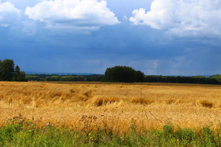 Autumn field of ripe wheat before the rain. yellow ears. dark sky before the doge. The nature of siberia.