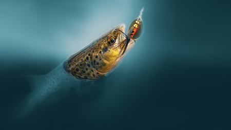 On hook. Brown trout is caught on a spoon-bait. Stok Fotoğraf
