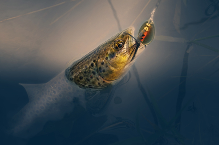 On hook. Brown trout is caught on a spoon-bait. Reklamní fotografie