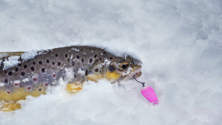 Beautiful trout is caught on a spoon-bait.