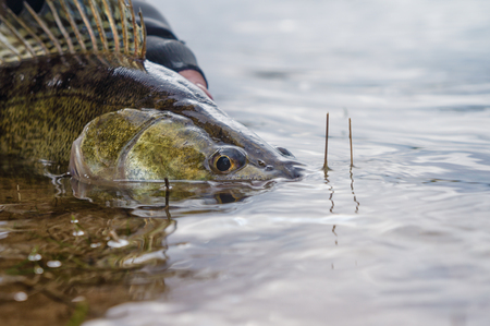 Fishing. I catch and release. Pike perch on freedom. Foto de archivo