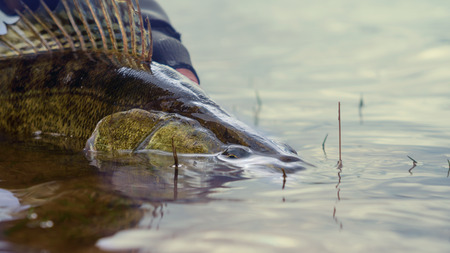 Fishing. I catch and release. Pike perch on freedom. Banco de Imagens