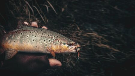 Brown trout in the hand of a fisherman. Spinning fishing.