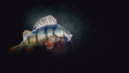 Close-up perch on a dark background. Fishing.