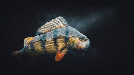 Close-up perch on a dark background. Fishing. Banque d'images