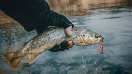 Trout close up in hand fisherman.