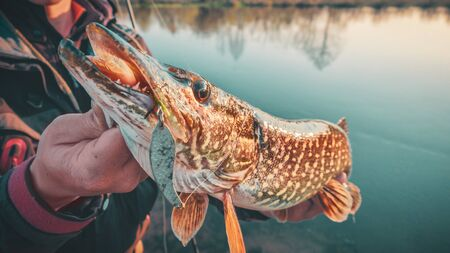 Pike in the hands of a fisherman close-up.