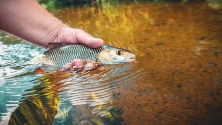 The fisherman caught a chub with a fly fishing.