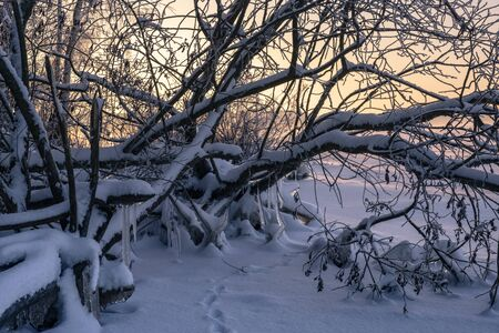 A trace of a wild animal in the snow. The shore of the forest lake, dawn. Banque d'images