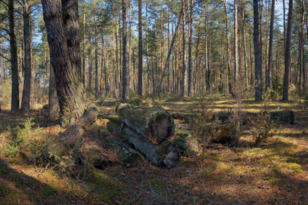 The old logs covered with moss. Stitched panorama