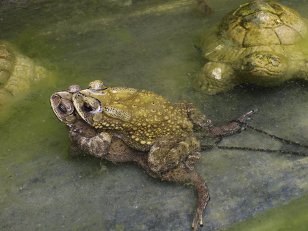 Breedind of toad Stock Photo