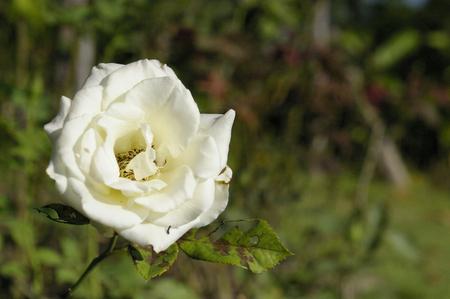 Hybrid tea white rose flower Stok Fotoğraf