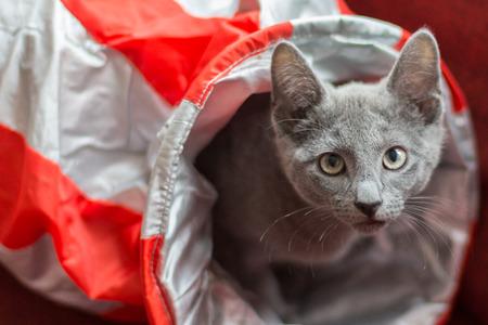russian blue: Russian Blue cat breed, kitten in a bag Stock Photo