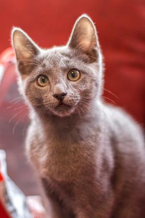 russian blue: Russian Blue cat breed, sweet looking kitten