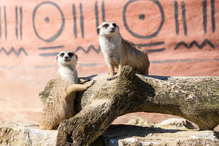 suricate: Meerkats, suricate, couple sitting upright, staring, held in captivity Stock Photo