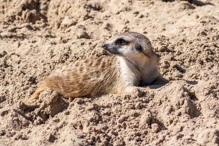 held down: Meerkat, suricate, lying down, held in captivity