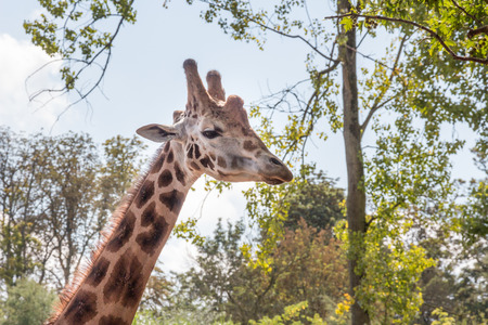 patched up: Giraffe neck and head