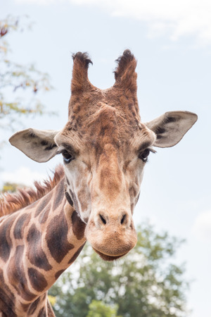 patched up: Giraffe head shot, close up  Stock Photo