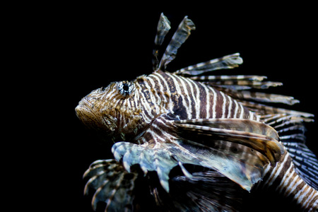 common lionfish: Lionfish, common lionfish, red lionfish, close up, head shot