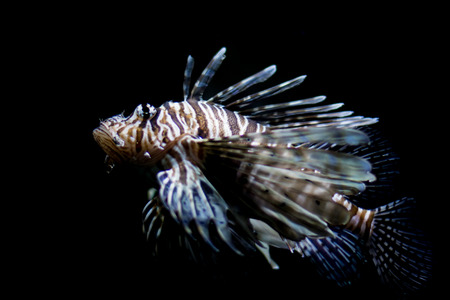 common lionfish: Lionfish, common lionfish, red lionfish, close up, full shot