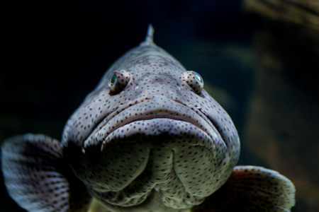 mouth close up: Malabar grouper fish, close up, head shot, mouth closed Stock Photo
