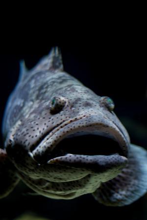 Malabar grouper fish, close up, head shot, mouth open photo