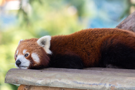 Red panda close up head shot resting on a wooden board photo