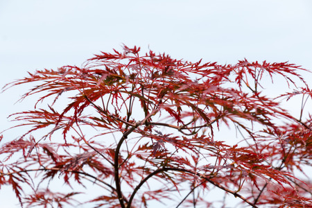 acer palmatum: Wine-red leaves of the Japanese maple tree, Acer Palmatum Dissectum Atropurpureum, full