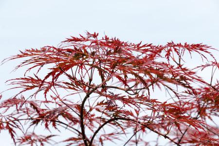 acer palmatum: Wine-red leaves of the Japanese maple tree, Acer Palmatum Dissectum Atropurpureum, full