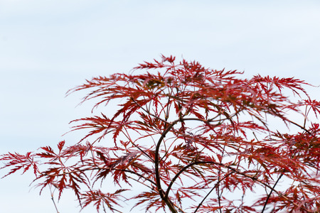 acer palmatum: Wine-red leaves of the Japanese maple tree, Acer Palmatum Dissectum Atropurpureum, left free