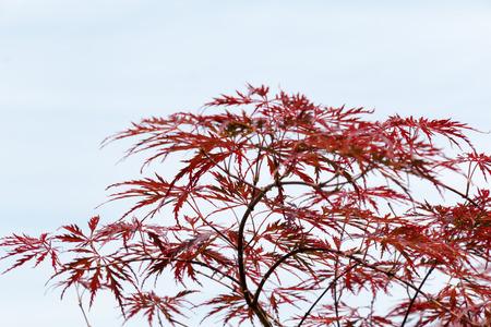 acer palmatum: Wine-red leaves of the Japanese maple tree, Acer Palmatum Dissectum Atropurpureum, left free