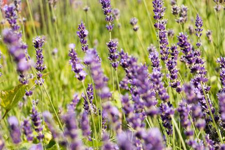 lavandula angustifolia: Purple lavender field