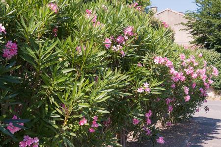 flower border: Oleander shrubs along the roads in France Stock Photo