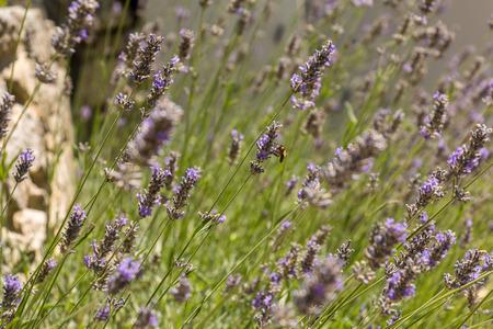 espliego: Abeja que recolecta miel en el campo de lavanda en Francia Foto de archivo