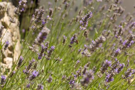 lavender: Bee gathering honey in lavender field in France