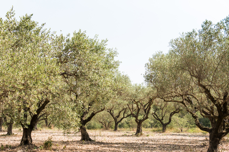 southern europe: Olive grove, group of olive trees in sunny southern Europe - general