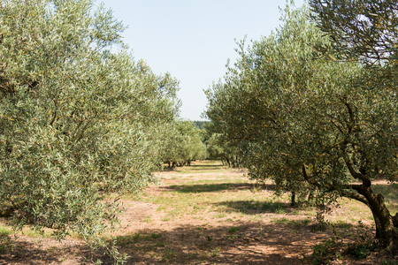southern europe: Olive grove, group of olive trees in sunny southern Europe - road