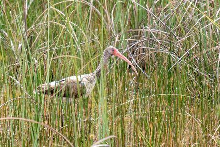 Juvenile American white ibis wading in Everglades National Park, Florida