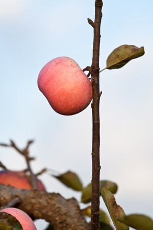 Red apples on apple tree branch photo