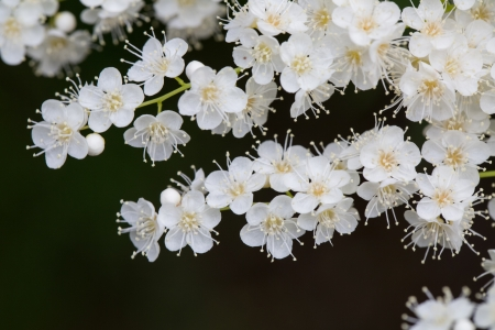 strains: Several strains of pearl white plum blossoms in the forest