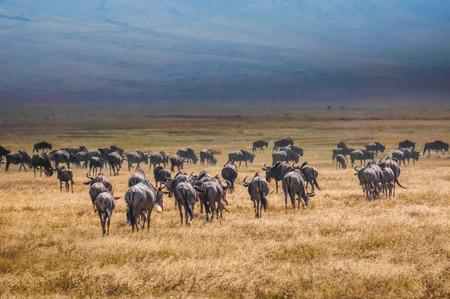 wildebeest:  blue wildebeest